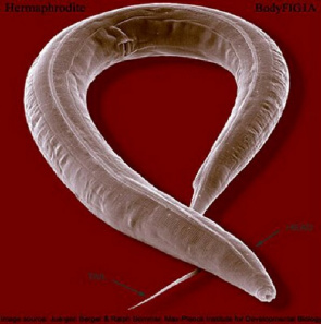 Imagem mostra o verme Caenorhabditis elegans