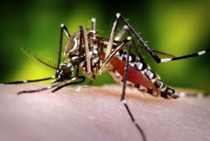 Picture shows the female mosquito Aedes aegypti. Vaccine uses the dengue virus itself is changed to be able to make people produce antibodies