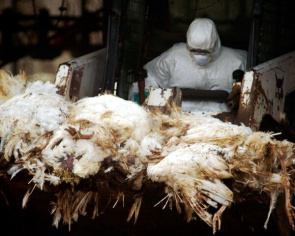 United Nations Food and Agriculture Organization (FAO) warned of a possible increase in cases of bird flu in the flu season